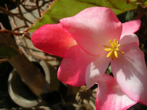 Flor de corazón rosada, Caracas, Venezuela