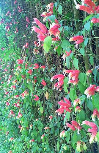 Flores rosadas sobre una cerca la Lagunita el Hatillo Caracas Venezuela