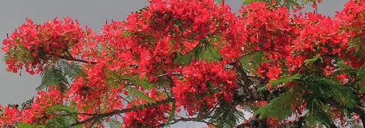 Flores de Acacia Flamboyant Flamboyan Delonix Regia La Trinidad Baruta Estado Miranda Venezuela