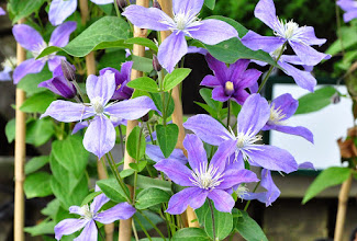 Photo: Clematis 'Arabella'