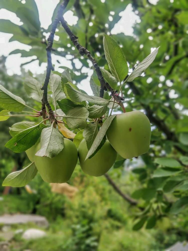 apple+trees+manali district himachal pradesh+india