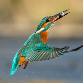 flying fish, with the king by Riccardo Trevisani - Animals Birds ( riccardo trevisani, fish, kingfisher, wildlife, nikon, birds )
