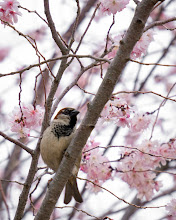 Photo: Sparrow in a Cherry Tree -- Washington, DC  A few of the pink cherry blossoms emerged, but we have yet to see the peak of these blooms that, to me, mark the beginning of spring.