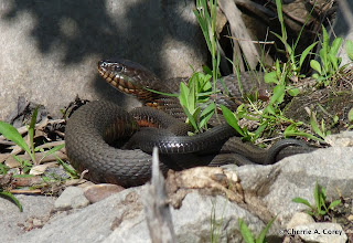 Photo: Breeding northern water snakes