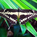 Giant Swallowtailrb