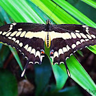 Giant Swallowtailrb
