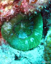 Photo: Disc Corallimorph