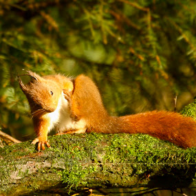 Scratch by Kenny Routledge - Animals Other Mammals ( scratch, wood, dumfries and galloway, green, red squirrel, forest, kenny routledge, squirrel )