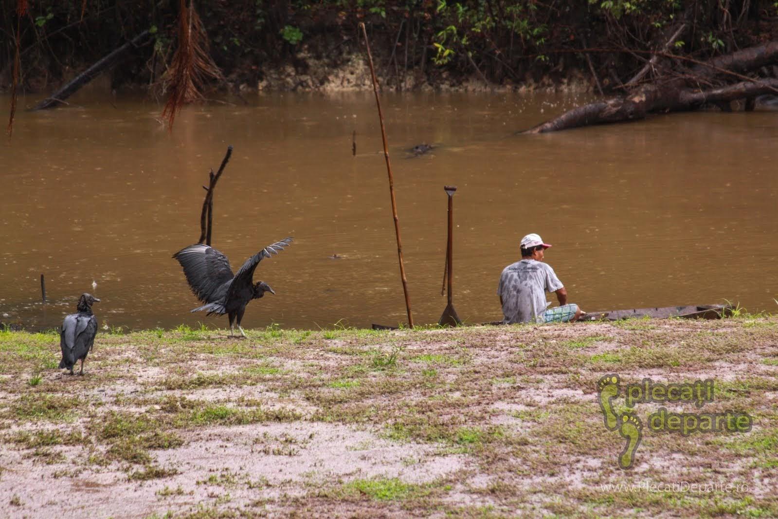 Gallinazos, vultur-negru, care asteapta resturi de la un pescar ce curata pestii, in jungla amazoniana, in Rezervatia Nationala Pacaya-Samiria, Peru