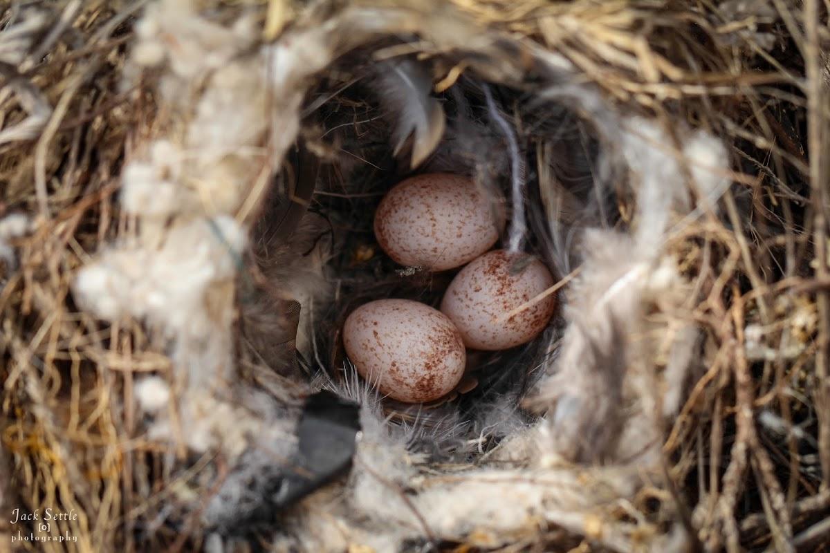 Carolina Wren (nest & eggs)
