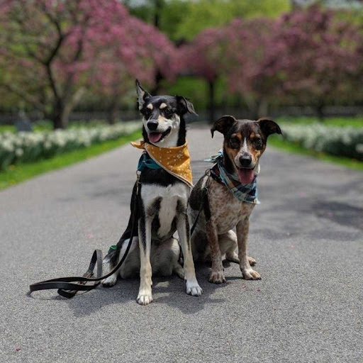 Two dogs wearing handkerchiefs sitting in the middle of a path with white flowers and pink blooming trees in the background.