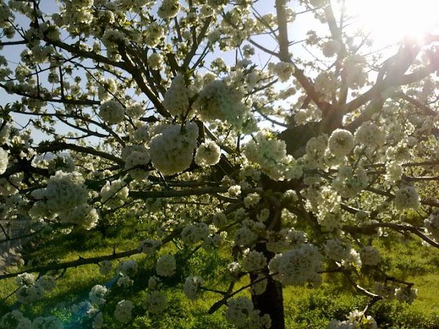Fotos del Cerezo en Flor, el Ferte Extremadura