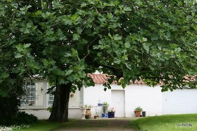 ficus carica soci t nantaise d 39 horticulture. Black Bedroom Furniture Sets. Home Design Ideas