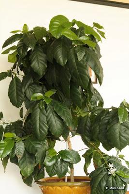 coffea arabica caf ier soci t nantaise d 39 horticulture. Black Bedroom Furniture Sets. Home Design Ideas