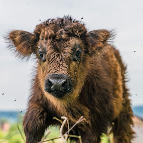 Calf with flies by Nigel Bishton - Animals Other Mammals (  )