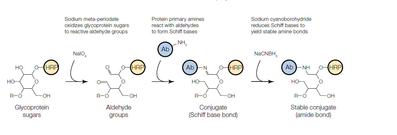 Reductive amination for glycoprotein conjugation