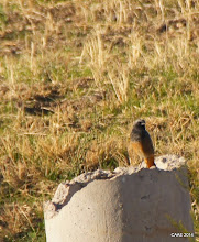 Photo: Redstart