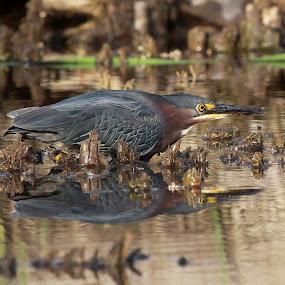Waiting and Watching by Deb Bulger - Animals Birds ( animals, nature, green  heron, reflections, wildlife, wading  birds, birds,  )