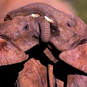 Kissing Elephants by Linda Jansen van Rensburg. - Animals Other Mammals ( kissing elephants )