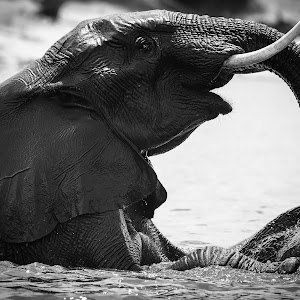 PvN_Chobe Elephant_7866.jpg