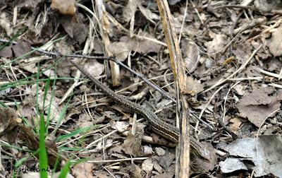 Salamander Maashorst