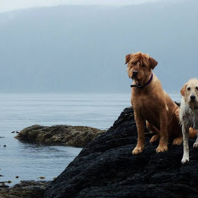 by Brenda Baird - Animals - Dogs Portraits (  )