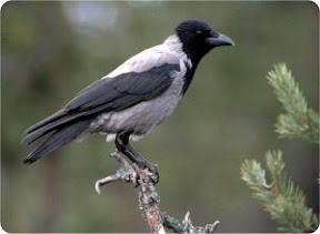Серая ворона скоро окажется под прицелом тверских охотников