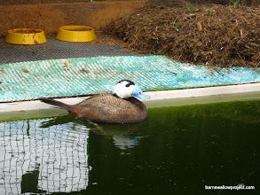 Photo: an endangered white-headed duck (Oxyura leucocephala)