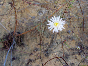 Photo: Cliff aster (Malacothrix saxatilis)…one of the very few occurrences of blooming flowers today
