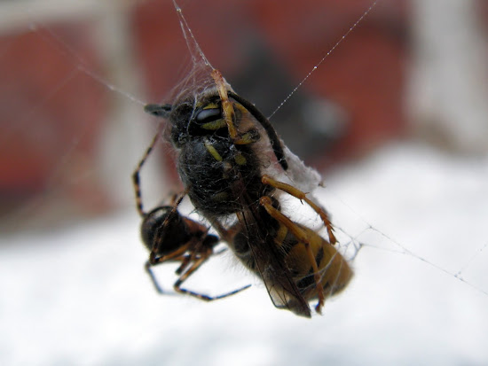 a dead wasp being wrapped in silk by a spider