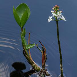 Menyanthes trifoliata by Sakari Partio - Flowers Flowers in the Wild