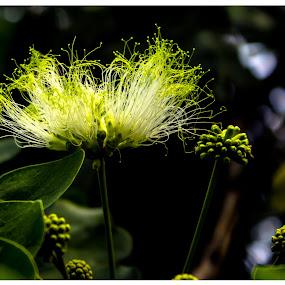 Glowing at Dark by Kaustav Chakraborty - Nature Up Close Flowers - 2011-2013 ( nature, tree, beauty, glowing, flower )