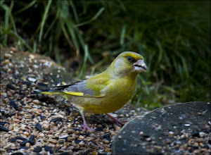 """Photo: Bird N°18 Greenfinch ♂- Carduelis chloris  The European Greenfinch, or just Greenfinch Carduelis chloris, is a small passerine bird in the finch family Fringillidae. The genus Carduelis might be split up and in this case, the greenfinches would be separated in their old genus Chloris again. This bird is widespread throughout Europe, north Africa and south west Asia. It is mainly resident, but some northernmost populations migrate further south. The Greenfinch has also been introduced into both Australia and New Zealand. Woodland edges, farmland hedges and gardens with relatively thick vegetation are favoured for breeding. It nests in trees or bushes, laying 3-8 eggs. This species can form large flocks outside the breeding season, sometimes mixing with other finches and buntings. They feed largely on seeds, but also take berries and seeds. The Greenfinch is 15 cm in length with a wing span of 24.5-27.5 cm and is similar in size and shape to a House Sparrow, but is mainly green, with yellow in the wings and tail. The female and young birds are duller and have brown tones on the back. The bill is thick and conical. The image is of a male Greenfinch which has lighter coloured """"Cheeks"""" than the female.  +Brian Rose+Jacky Hayward  #52birds #photography   #naturefacts  #nature  #birds  #birdloversworldwide #birdinfocus #birding #birdphotography #naturephotography #wildlifephotography #wildlife #pixelworld #breakfastclub #ukphotographycommunity #ukphotography #scotlanduk #scotland #uk"""