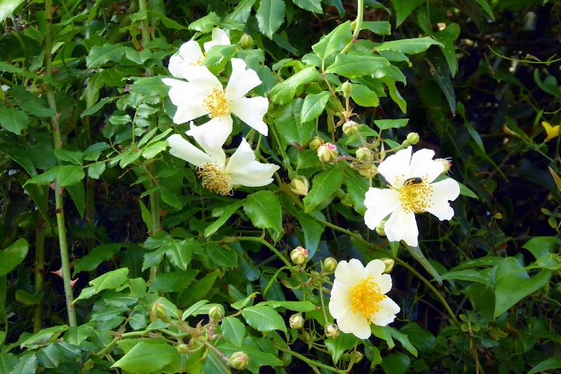 Rose selvatiche di Piera