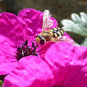 Migrant hoverfly
