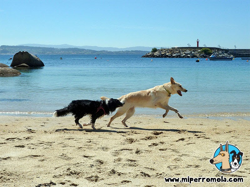 Playa para Perros O Espiño en San Vicente do Grove, Can de Palleiro y Border Collie