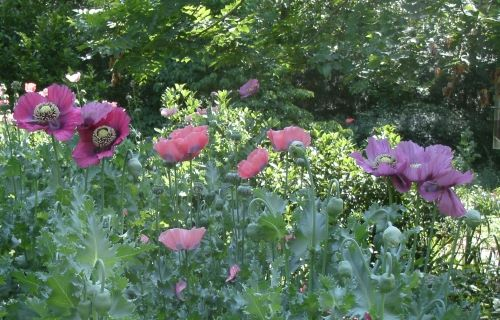 group of mixed poppies
