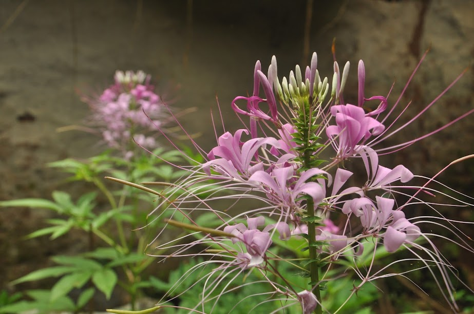 Non Native flower plant found in and around villages