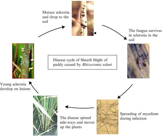 Image result for Sheath Blight disease in rice
