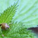 Vernal Shieldbug