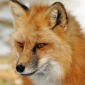 Fox by Dawn Hoehn Hagler - Animals Other Mammals ( fox, zoo, bearizona, arizona, williams, red fox,  )
