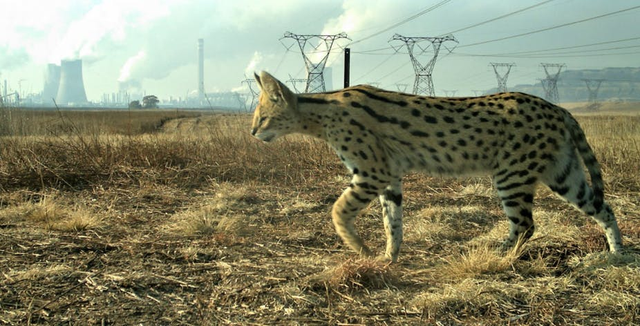 In the shadow of Secunda's Sasol plant, servals are thriving