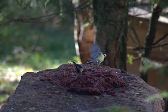 Photo: Great Tit eating the lynx food