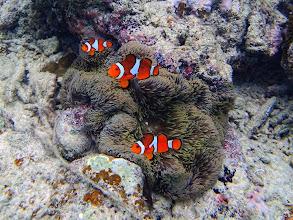 Photo: Amphiprion ocellaris (Ocellaris Clownfish), Entatula Island Beach Club reef, Palawan, Philippines.