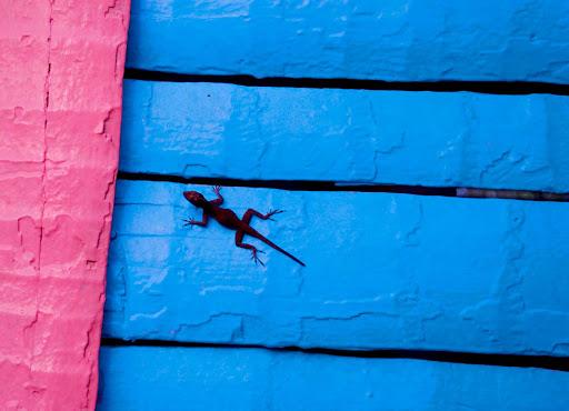 Dominican-Republic-lizard-on-house - A lizard on a house in the Dominican Republic.