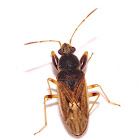 Dirt Colored Seed Bug