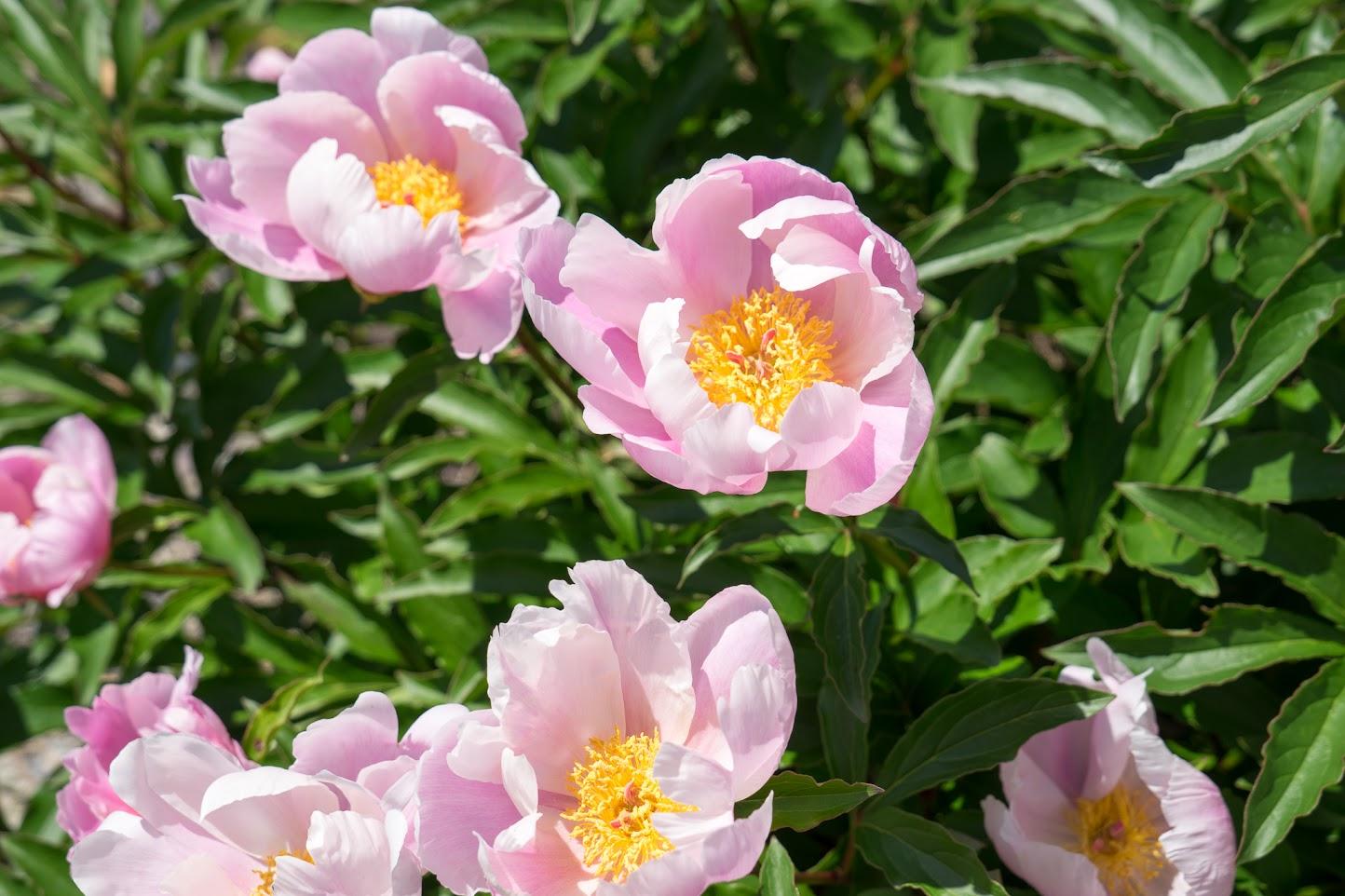 永井さんご両親のお庭を飾る花