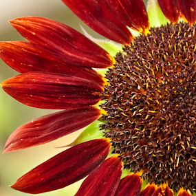 Red Sunflower by Leanne Adams - Flowers Single Flower ( red, petals, sunflower, seeds, flower )