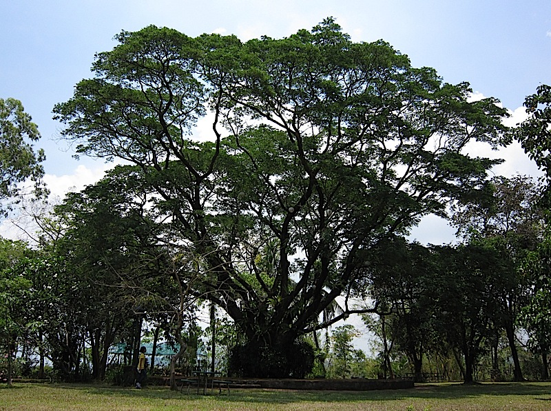 acacia tree at the Bukal ng Tipan spirituality center