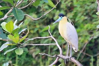 Photo: Capped Heron